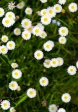Geissenblümchen