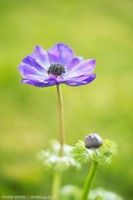 Anemonen Blume