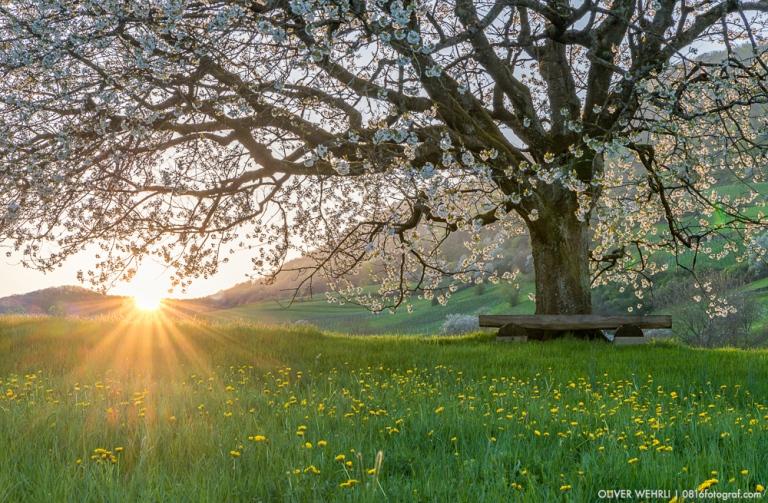 Kirschblüte, Kirschbaum, Schenkenbergertal