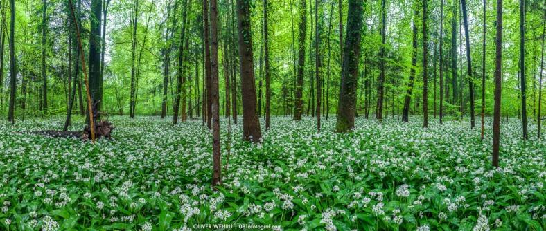 Bärlauch, Wald, Bärlauchblüte
