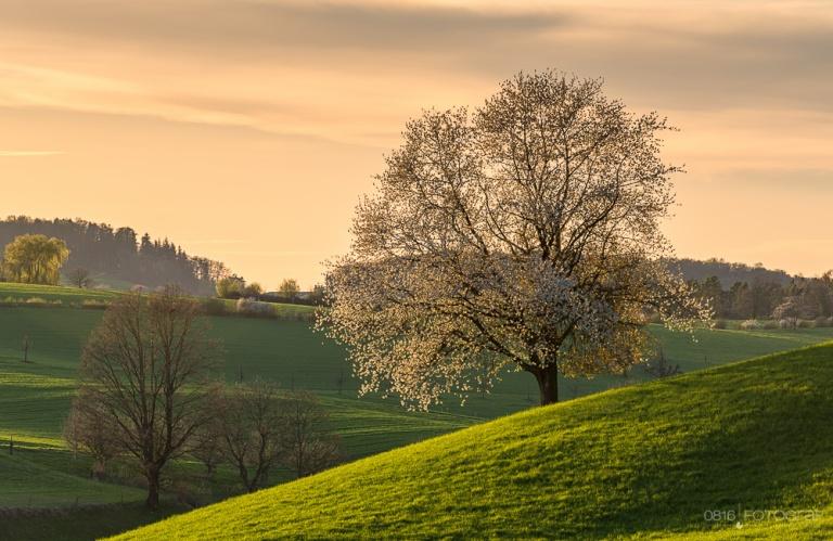 Fricktal und der Frühling mit der Kirschblüte