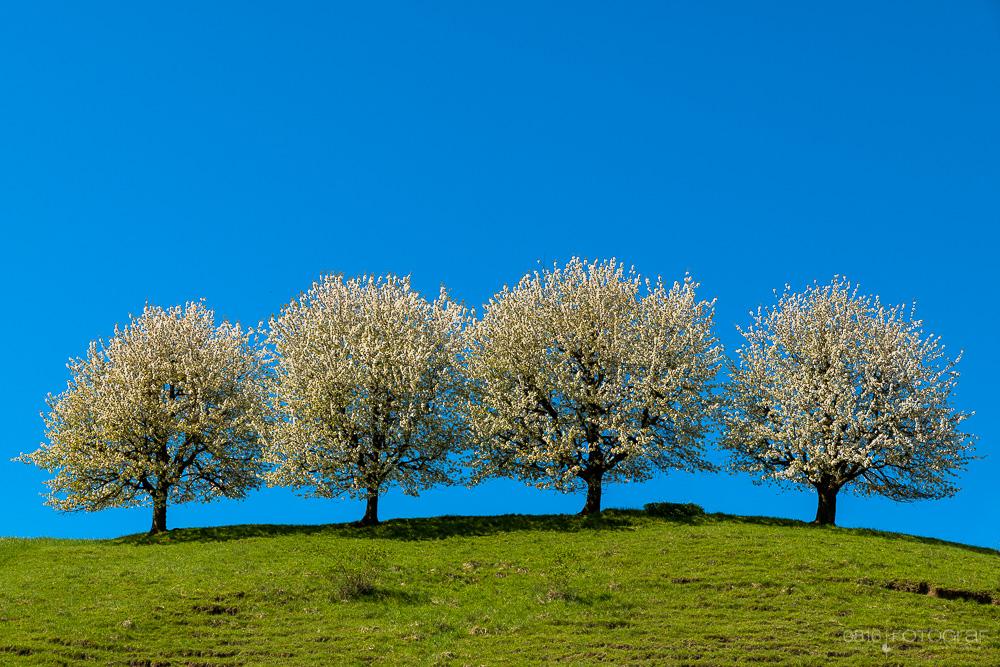 Kirschblüte, Aargau, Tricktal, Frühling