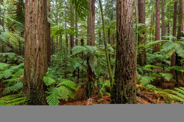 Redwood Forest, Neuseeland, Rotorua, New Zealand, Forest