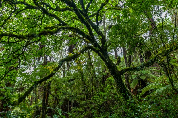 Rainforest, Jungle, Grüner Wald, Wald, Forest, Rainforest New Zealand, Rotorue, Redwood Forest,
