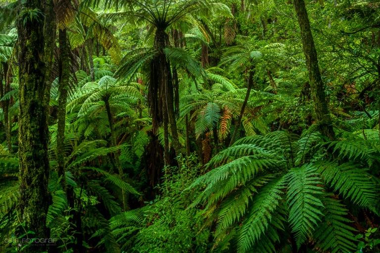 Rainforest, Jungle, Grüner Wald, Wald, Forest, Rainforest New Zealand, Rotorue, Redwood Forest,