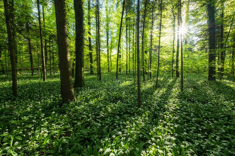 Bärlauch, Wald, Bärlauchblüte, Bärlauch-Wald, Aargau