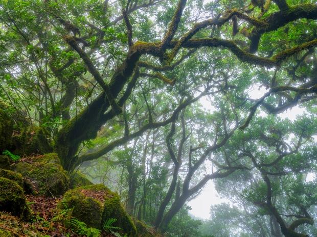 Laurisilva, Madeira, Lorbeerwald, Nebel, Landschaftsfotografie Madeira, Landscape Photography Madeira, Fujifilm GFX