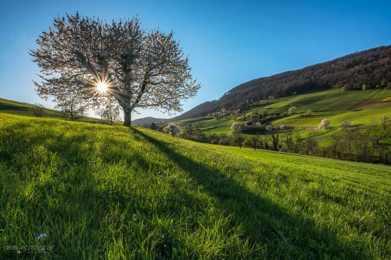 Kirschbaum, Chriesiblüte, Kirschbaumblüte, Kirschblüte, Aarau, Frühling, Landschaftsfoto, Landschaft, Landschaftsfotografie, GFX, Fujifilm