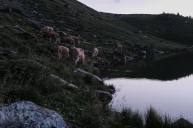 Kühe am Sulsseeli