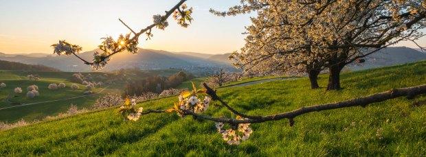 Fricktal, Aargau, Kirschbaum, Sonnenaufgang, Kirschblüte, Kirschbaumblüte, Landschaftsfoto, Landschaftsfoto Kirschbaum, Sonnenaufgang Fotografie, Sonnenaufgang Aargau, GFX Landschaftsfoto, GFX Landscape, cherry blossom,