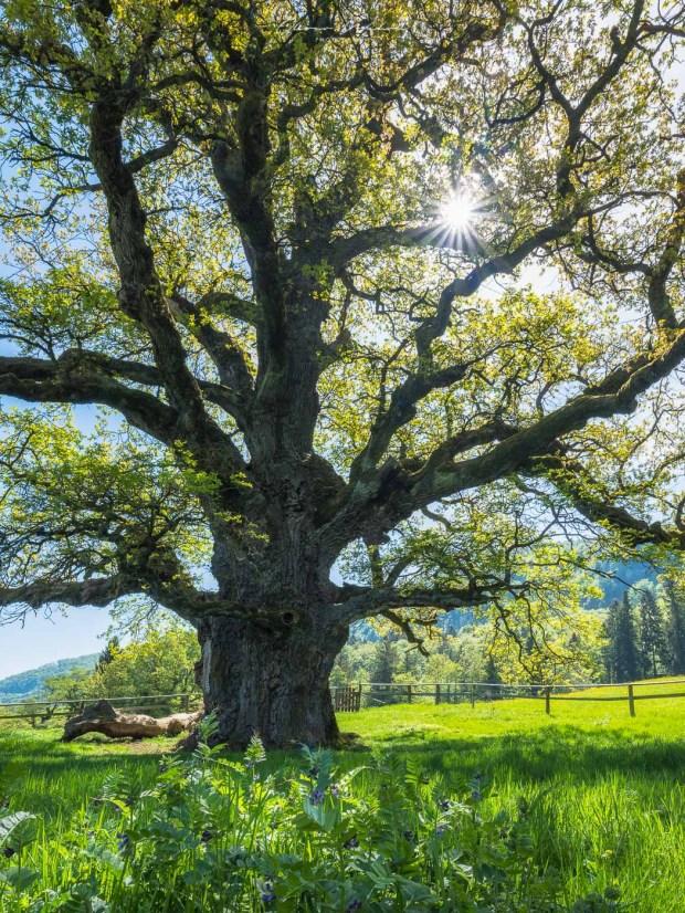 alter eichenbaum, Eichenbaum, chêne des bosses, jura, Landschaftsfoto Aargau, Landschaftsfotografie, Landschaftsfotograf, Mittelformat, baum fotografie, grosser baum