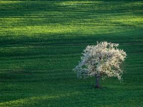 Landschaftsfoto Aargau, Landschaftsfotografie, Landschaftsfotograf, Mittelformat, Kirschbaum